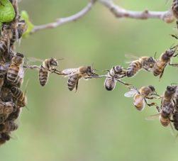 abelhas-trabalhando-em-conjunto-uma-sustentando-a-outra